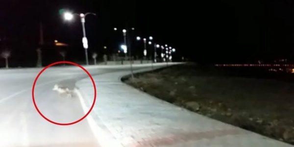 Elazığ'da tilki kara yolunda görüntülendi