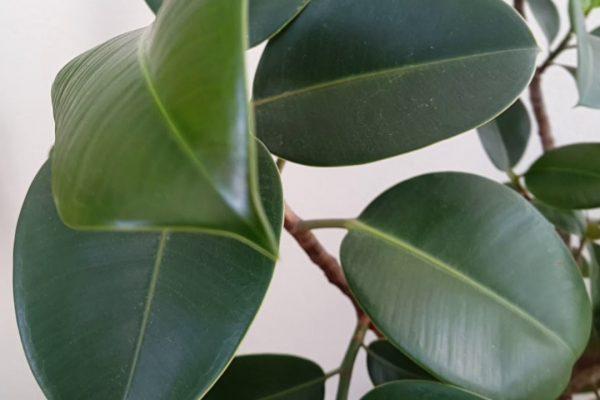 Saksıda kauçuk ağacı ve yeni yaprakları – Hobi bitkileri